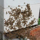 Bees re-entering hive