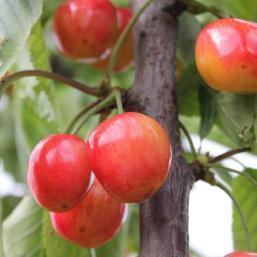 Cherries Pod Easy Edible Gardening