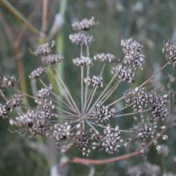 Dry fennel seed head