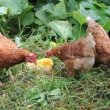Chickens eating butternut squash