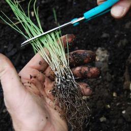 Выращивание лук порея через рассаду 606