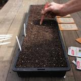 Using a pencil or iceblock stick push seeds just below compost surface – or to any recommended depth on seed packet.