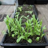 Seedlings are ready for transplanting when they have a couple of pairs of leaves.