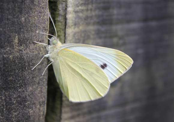 April Calendar Nz : Cabbage white butterflies pod easy edible gardening