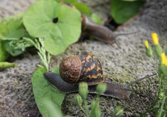 Slugs and snails - POD easy edible gardening