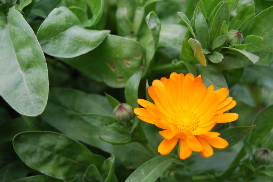 how to grow calendula in pots