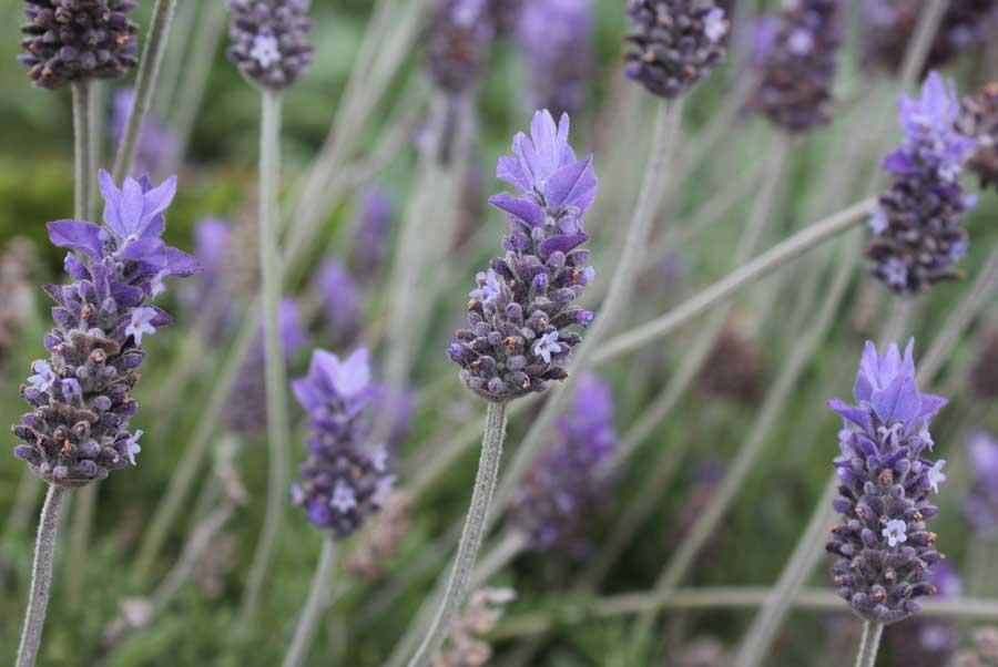 Lavender Pod Easy Edible Gardening