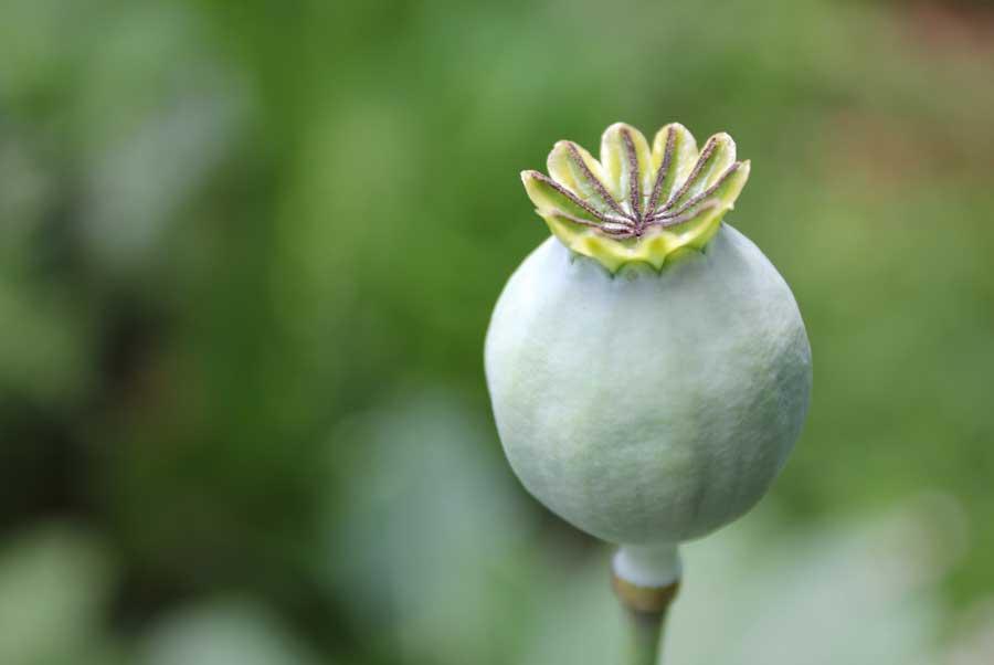 Poppy pod easy edible gardening mightylinksfo