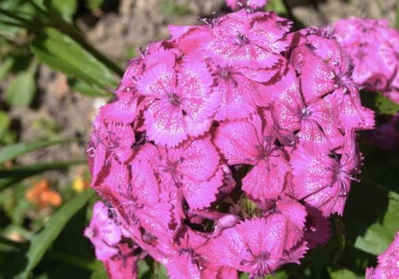 Dianthus Pod Easy Edible Gardening
