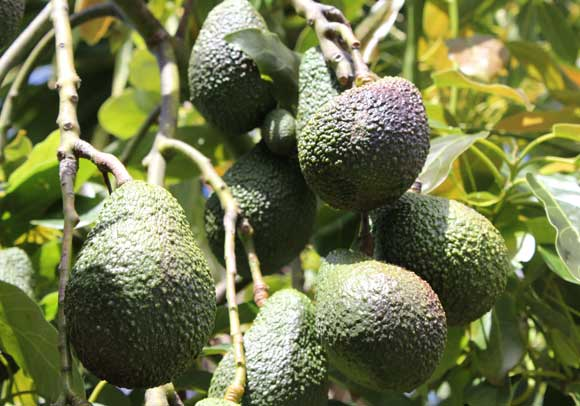 Avocado Pod Easy Edible Gardening