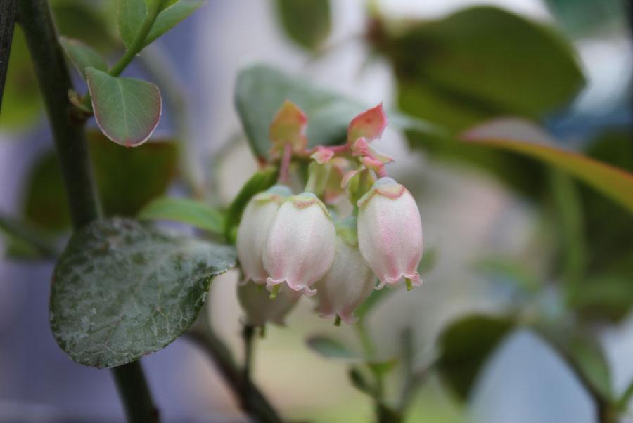 Blueberry Pod Easy Edible Gardening