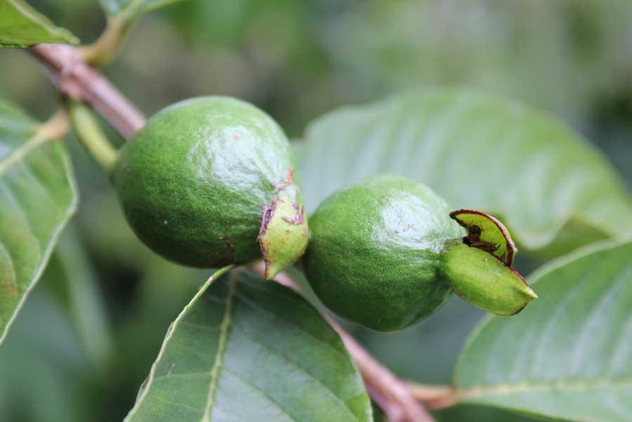 Cherry Guava - POD easy edible gardening