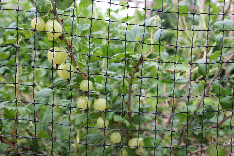 Gooseberry Pod Easy Edible Gardening