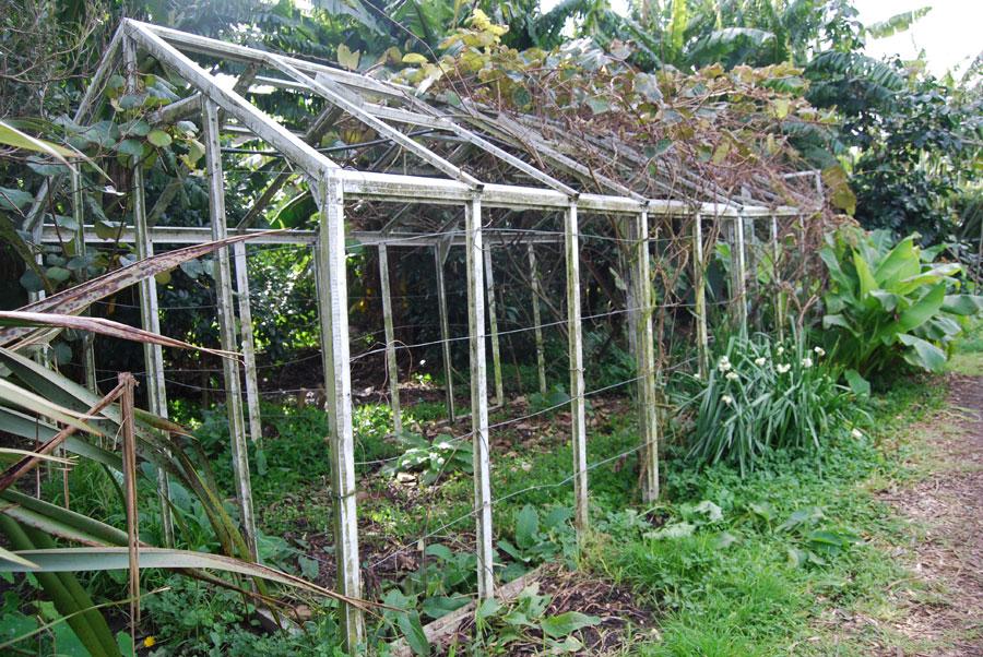 how to grow kiwi plants