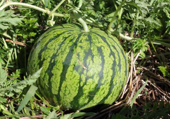 Male watermelon hole — photo 13