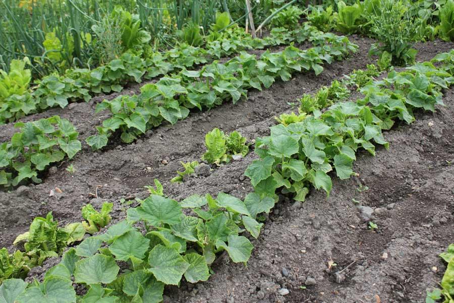 Melon Pod Easy Edible Gardening