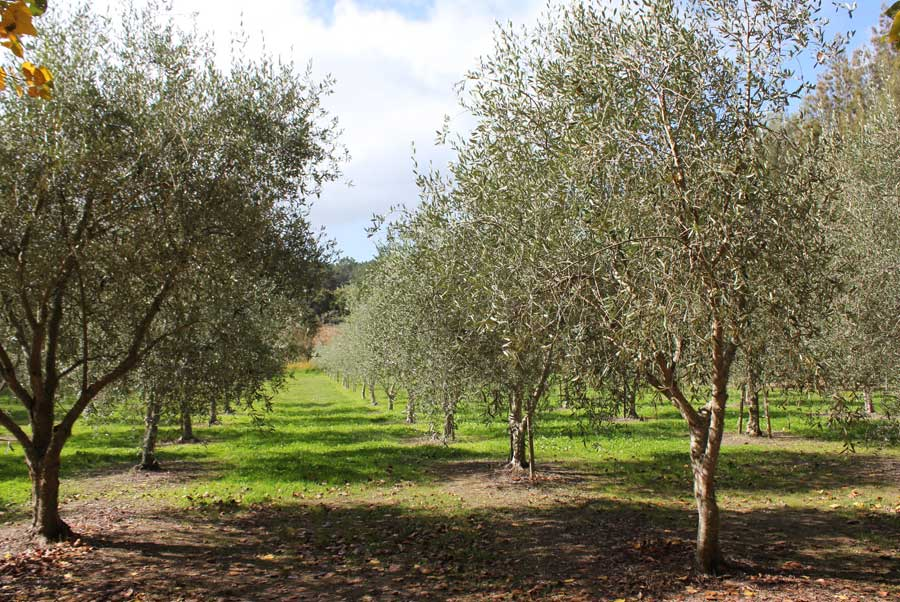 Olive pod easy edible gardening for Pruning olive trees in pots