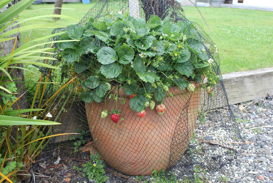 Growing Strawberries In Pots Part - 19:  Growing Strawberries In Pots Good Ideas