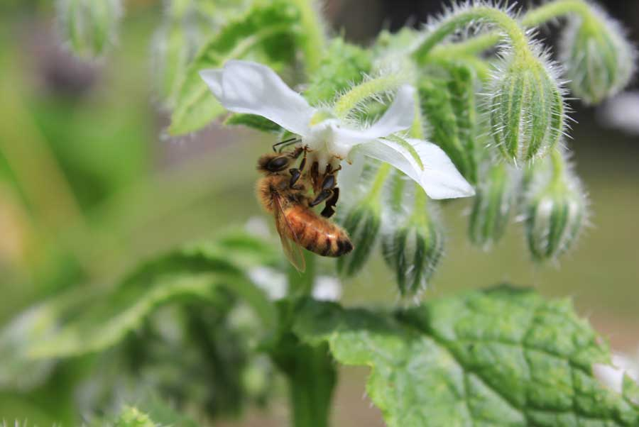 Borage - POD easy edible gardening