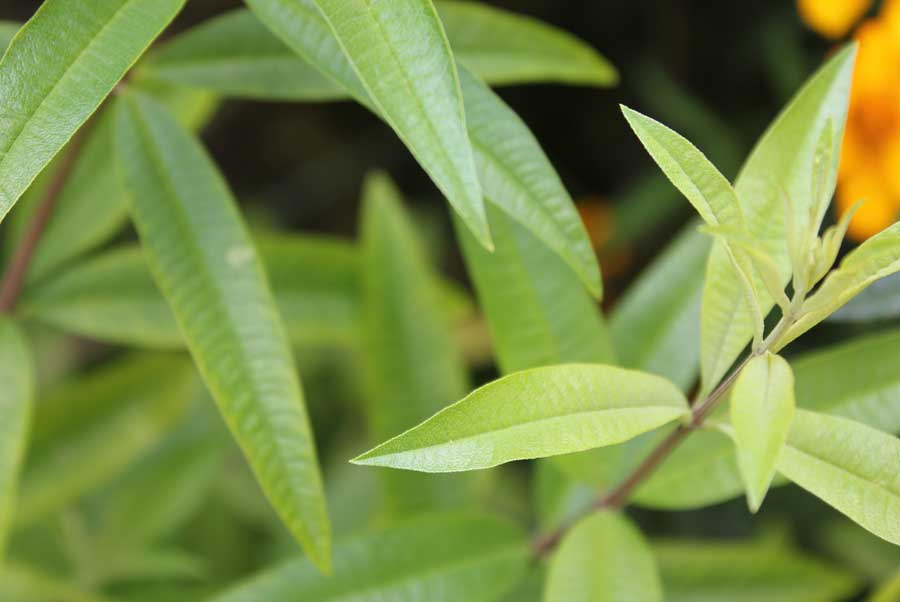 Lemon Verbena Pod Easy Edible Gardening