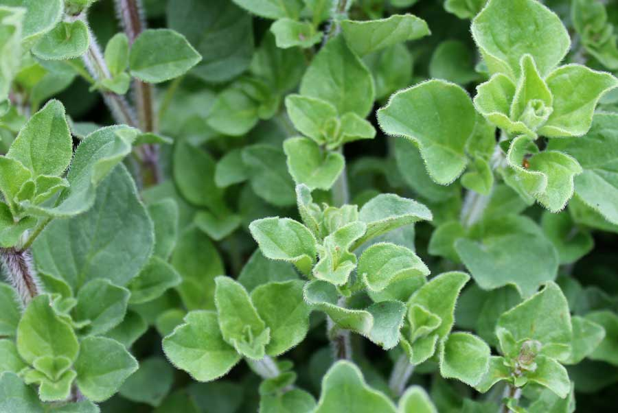 Facts About When To Start Marjoram Seeds Indoors Uncovered