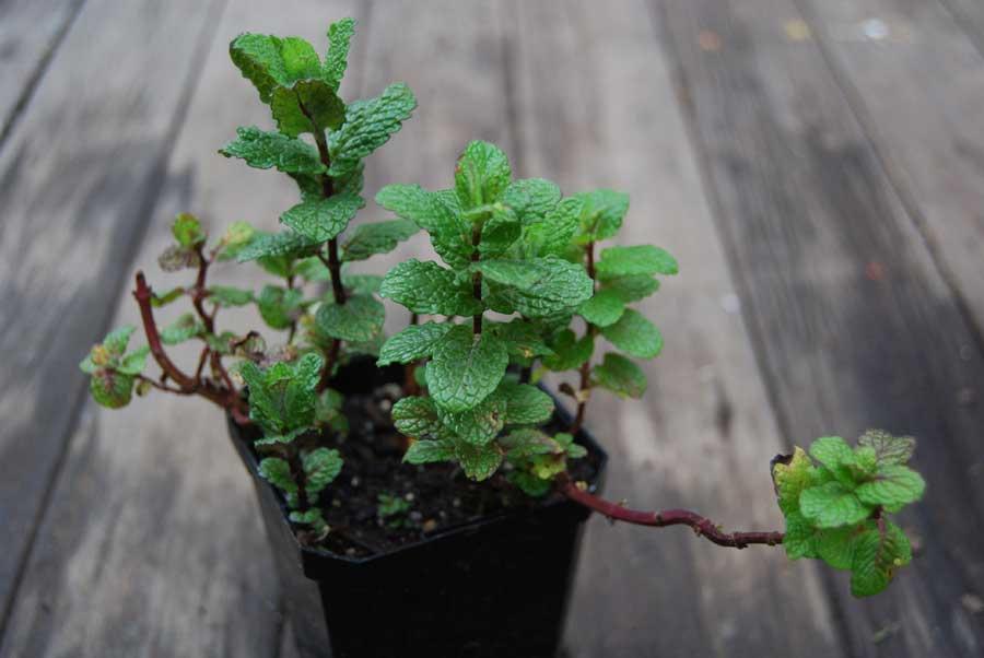 Mint Pod Easy Edible Gardening