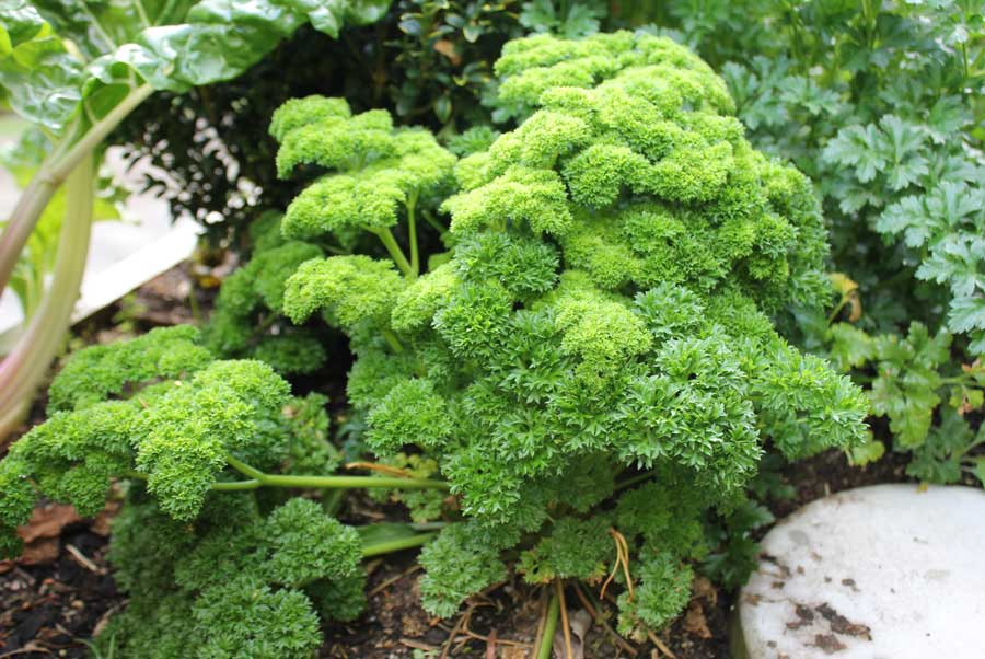 how to grow parsley commercially