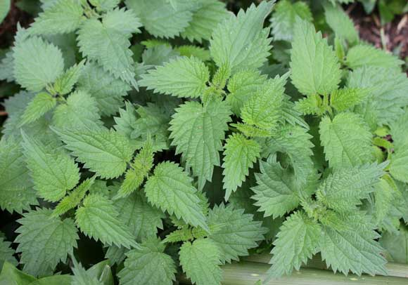 What is stinging nettle good for