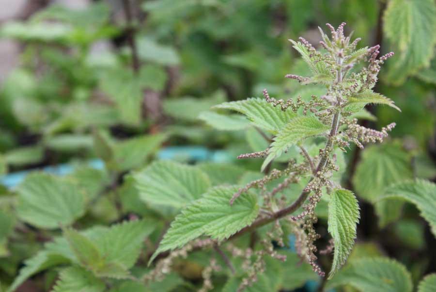Stinging Nettle Pod Easy Edible Gardening