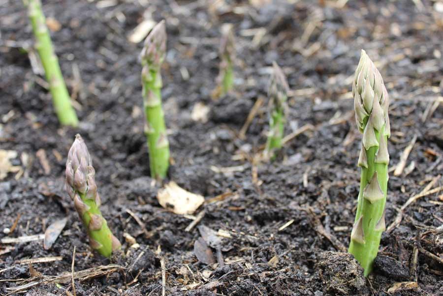 Asparagus Pod Easy Edible Gardening