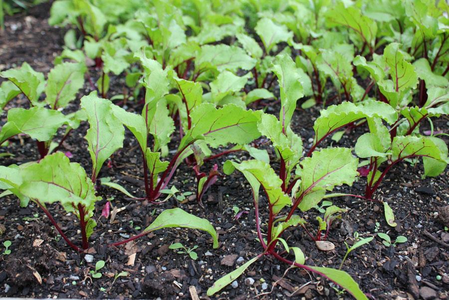 Beetroot - POD easy edible gardening