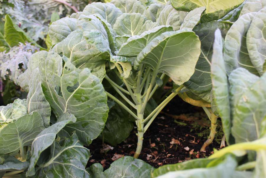 how to grow brussel sprouts nz