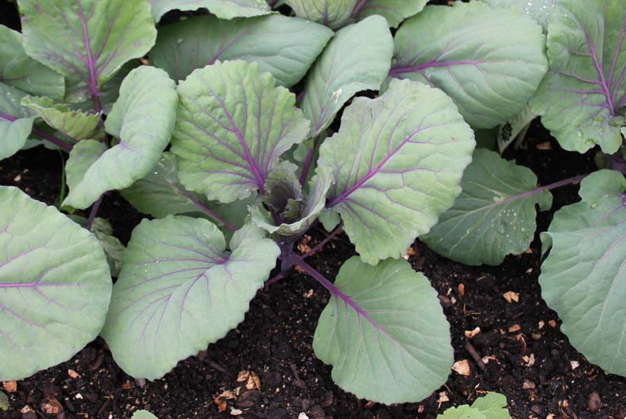 how to grow big cabbage