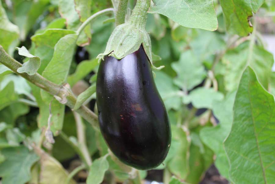 how to grow aubergines from seed
