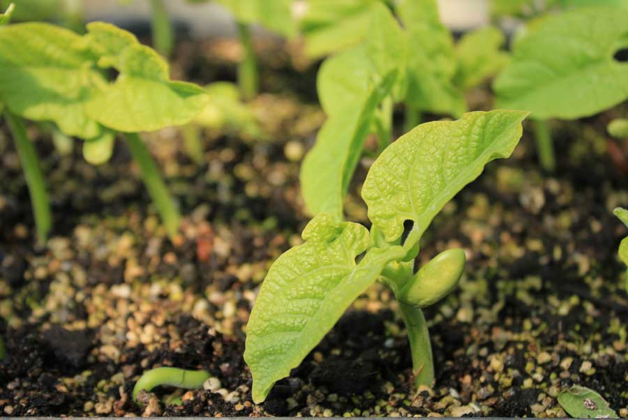 Dwarf Beans Pod Easy Edible Gardening
