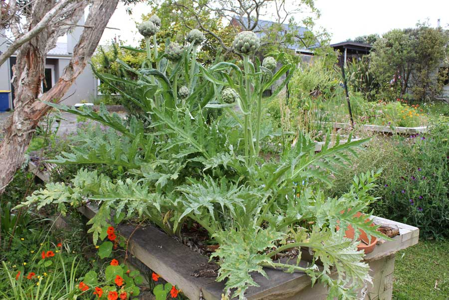 Globe Artichoke , POD easy edible gardening