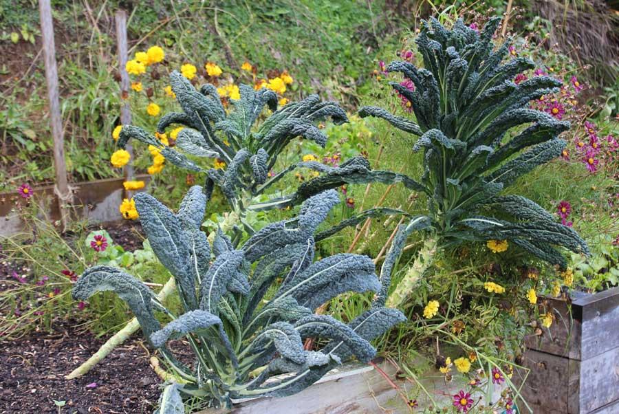 Kale - POD easy edible gardening Companion Planting Kale