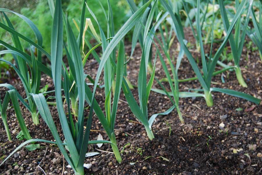Leeks - POD easy edible gardening Leek Companion Plants