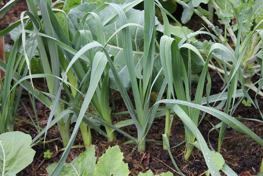 leeks plant - photo #11