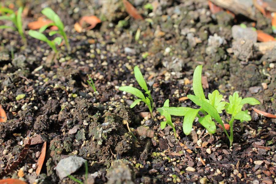 Пастернак выращивание из семян 22