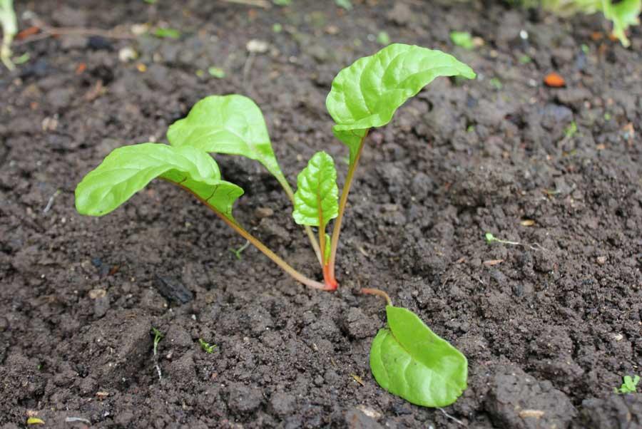Silverbeet Pod Easy Edible Gardening