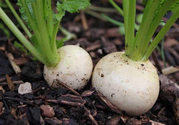Turnip - POD easy edible gardening Turnip Companion Plants
