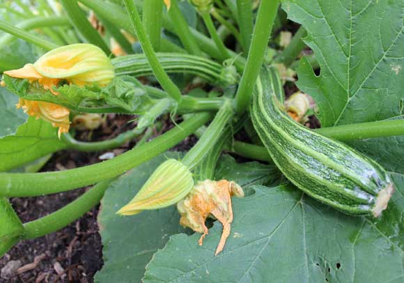 Zucchini Pod Easy Edible Gardening