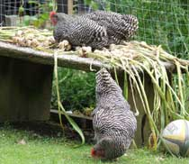 roosting chickens essay